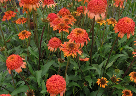 Echinacea 'Secret Lust'