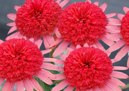 Echinacea 'Secret Passion'
