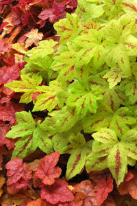 Heucherella_Sunrise_Falls_2m