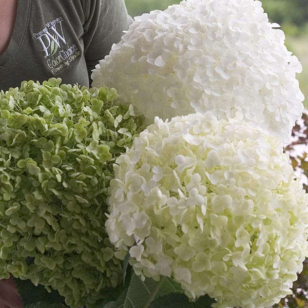 Hydrangea arborescens Incrediball Tm