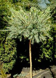 Larix_laricina_Little_Blue_Ball